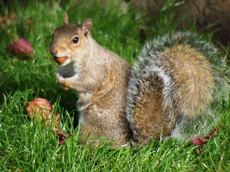 Tome uma caminhada com a confiança nacional para ver alguns esquilos vermelhos nas florestas que cercam Formby imagem de stock royalty free