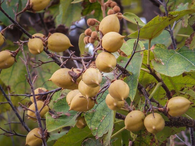 Tomentosa del Paulownia o árbol de la emperatriz o árbol de la princesa, o frutas del marrón del árbol de la dedalera en las rama imagen de archivo