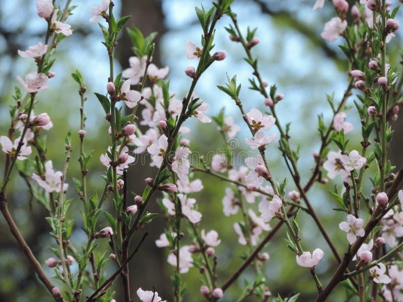 Tomentosa do Prunus imagem de stock royalty free