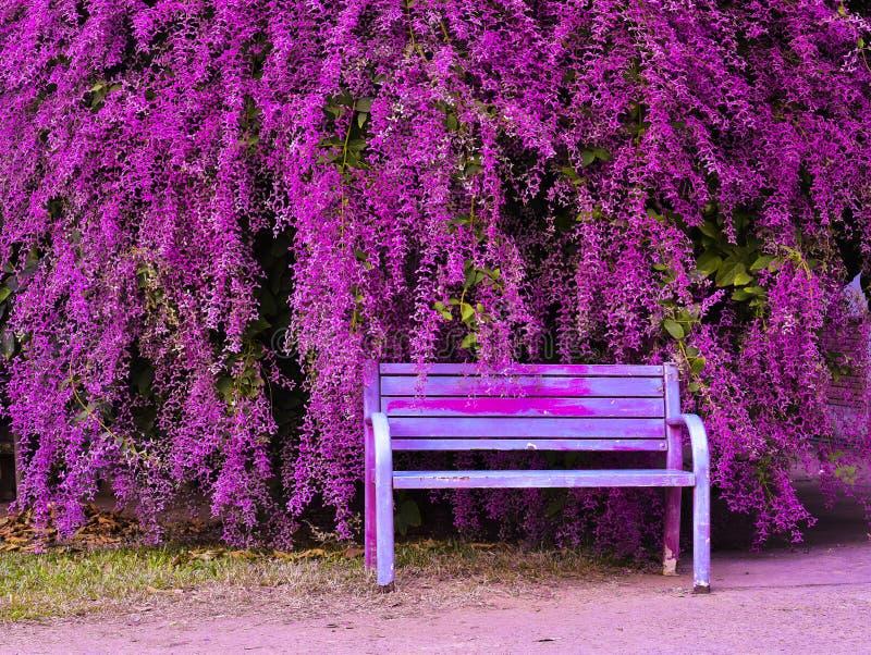 Tomentosa Roxb Congea παλαιά καρέκλα και όμορφος κήπος λουλουδιών στοκ εικόνες