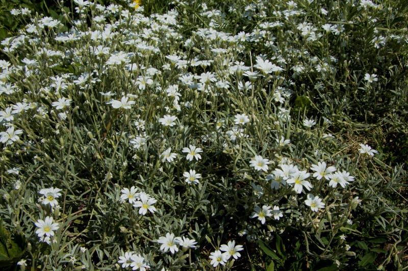 Tomentosum del Cerastium de la flor imagen de archivo