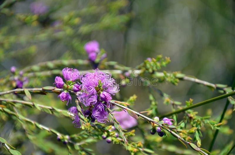 Tomilho-folha nativa australiana Honey Myrtle imagens de stock royalty free