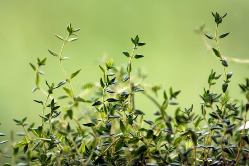 Tomilho (Thymus vulgaris) fotografia de stock royalty free