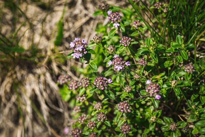 Tomillo de florecimiento de Bush en las montañas Plantas medicinales, fondo de flores rosadas fotos de archivo libres de regalías