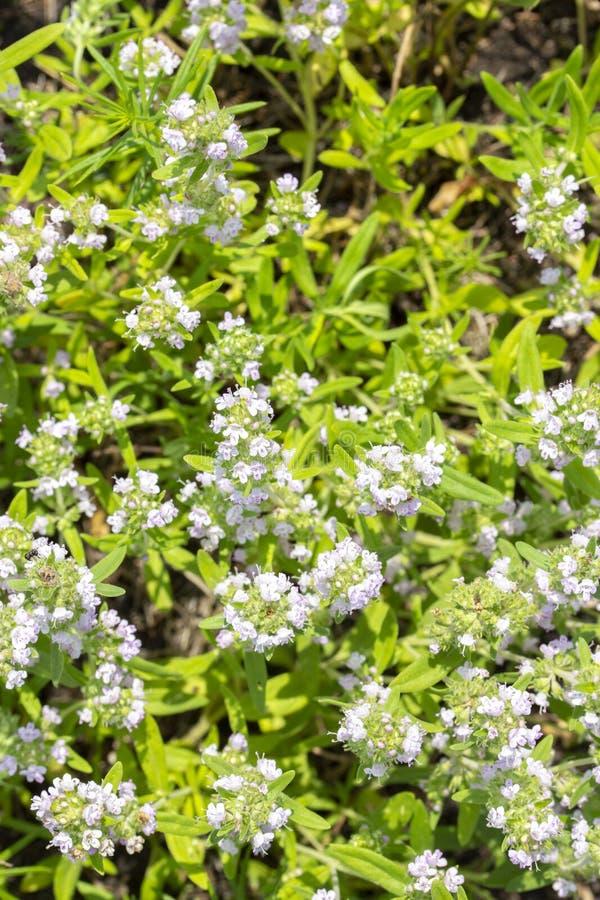 Tomillo salvaje de florecimiento, visión superior Peque?as flores azules Especia aromática comestible médica de la hierba fotos de archivo libres de regalías