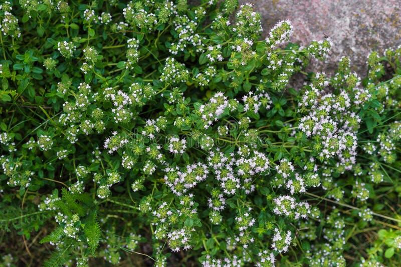 Tomillo verde floreciente en un jardín verde Primer el tomillo crece entre piedras grandes imagen de archivo libre de regalías
