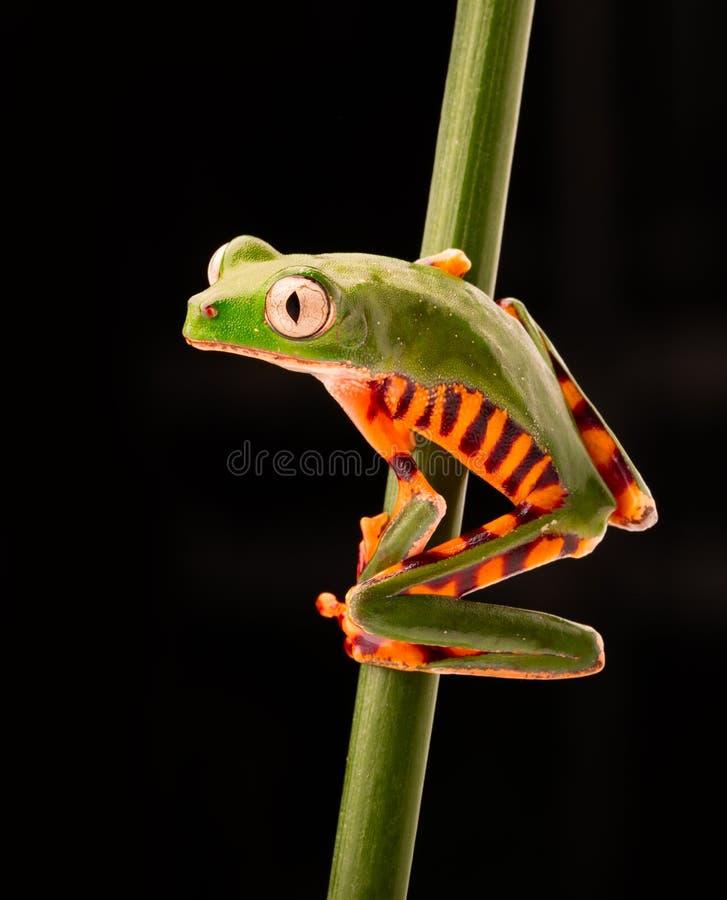 Tomopterna de Phyllomadusa de grenouille d'arbre de singe de jambe de tigre photos libres de droits