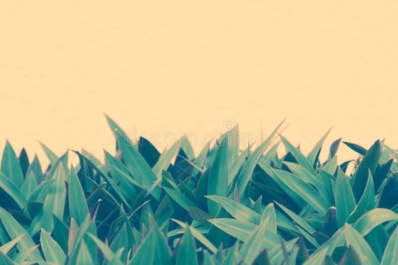 Tomt kopieringsutrymme för text - gräsplansidamodell på bakgrund av persikafärgväggen Naturlig abstrakt banerdesign arkivfoton