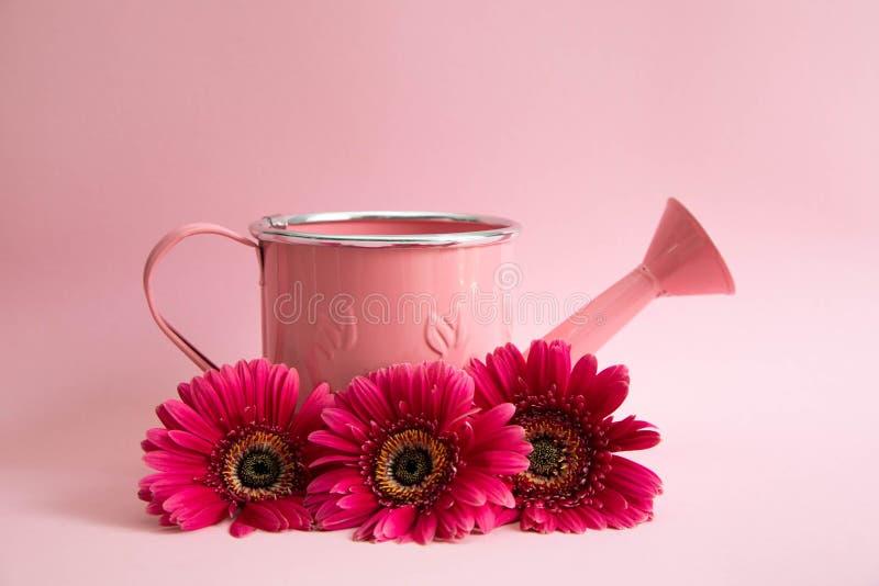 Tomt rosa bevattna kan med tre blommor av röda gerberas Bredvid bevattna är kan tre karmosinröda tusenskönor på en rosa färg royaltyfri fotografi