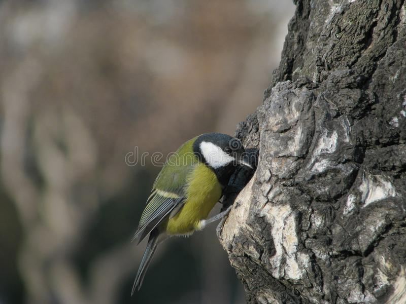 Download Tomtit peep in hollow stock photo. Image of feather, cheery - 17487784