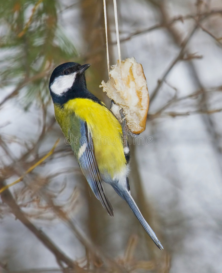 Download Tomtit to feed stock photo. Image of feeder, rope, park - 8717566