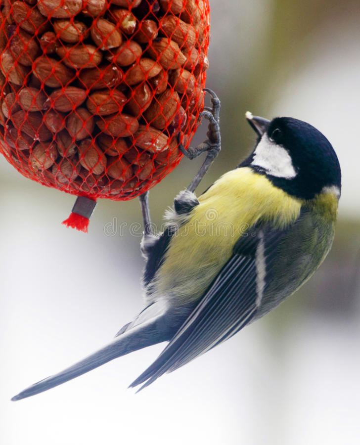 Tomtit in winter royalty free stock images