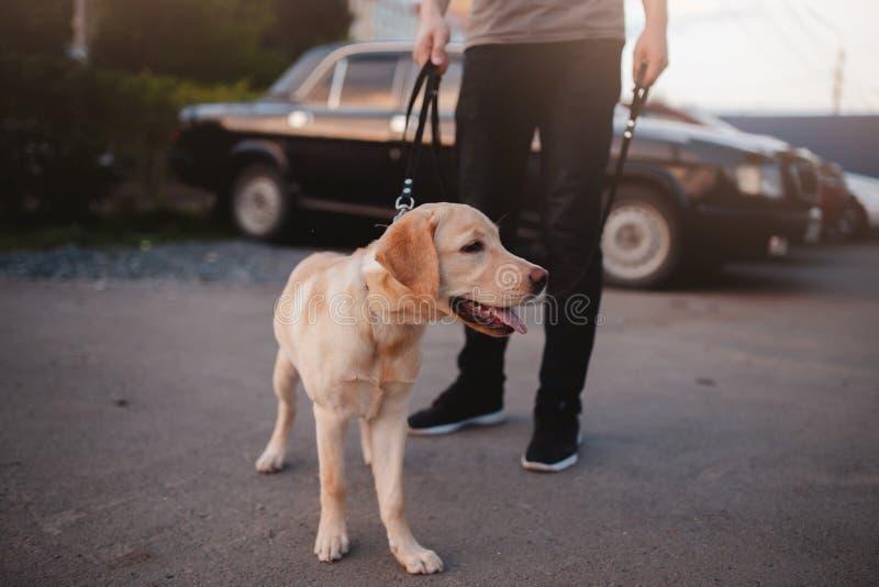 Tonårigt sitta för labradorvalp på asfalten arkivfoton