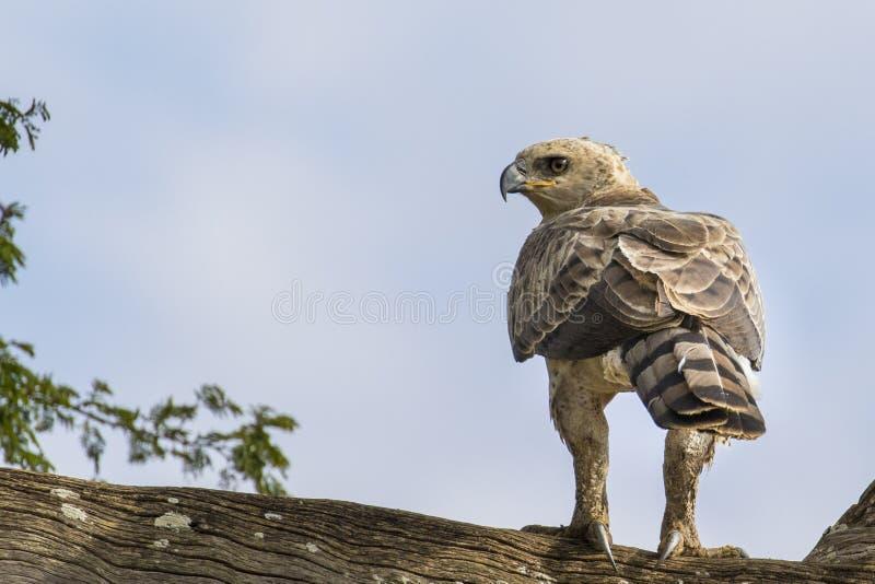 Tonåring krönade Eagle royaltyfri foto