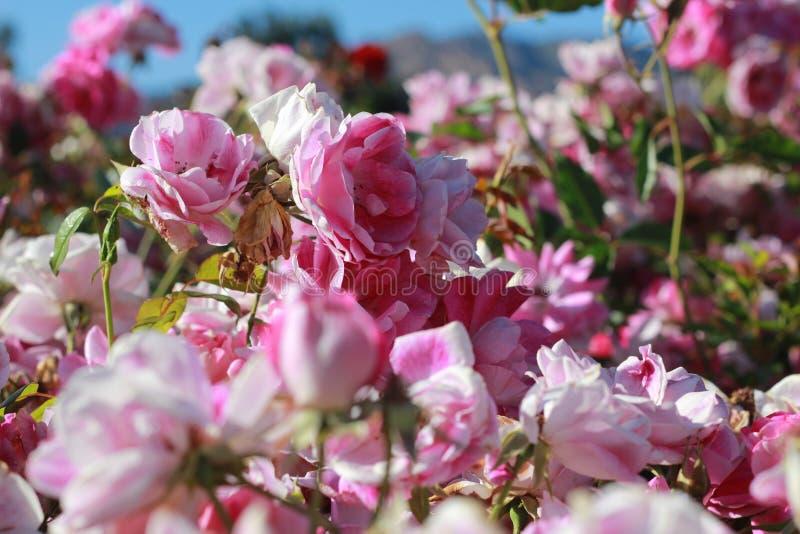 Ton av rosa ro arkivfoto