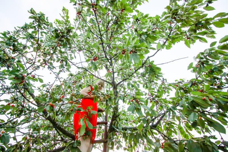 Ton?ringflickaanseende p? tr?trappa och samla s?ta k?rsb?rsr?da frukter Prunusaviumv?xt royaltyfria foton