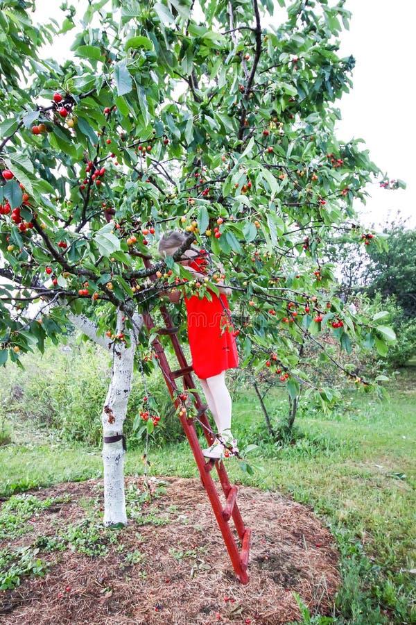 Ton?ringflickaanseende p? tr?trappa och samla s?ta k?rsb?rsr?da frukter Prunusaviumv?xt arkivfoton