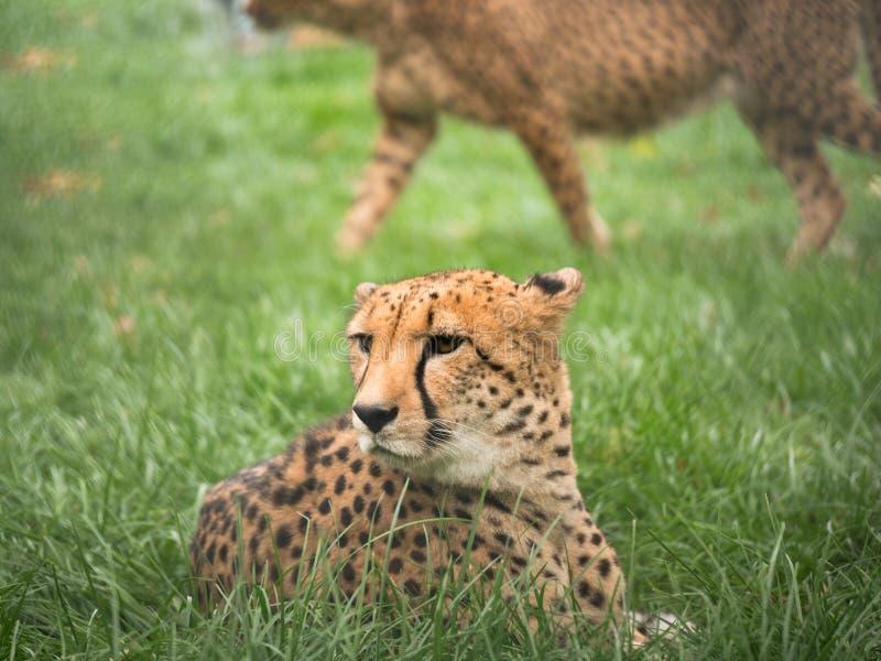 Tonad bild av gepardhuvudet arkivbilder