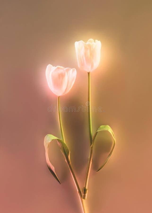 tonad bild av härliga glödande tulpan på grå bakgrund royaltyfri bild