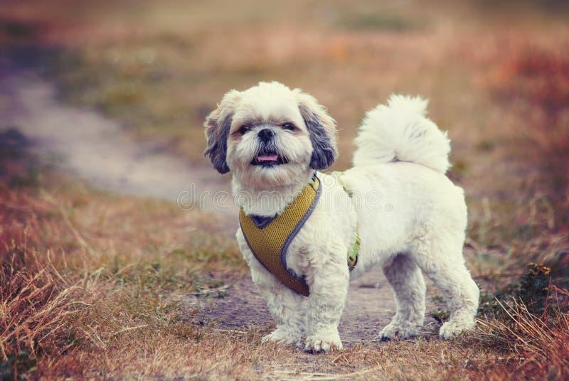 Tonad stående av en gullig hundshitzu -- mjuk selektiv fokus arkivfoto