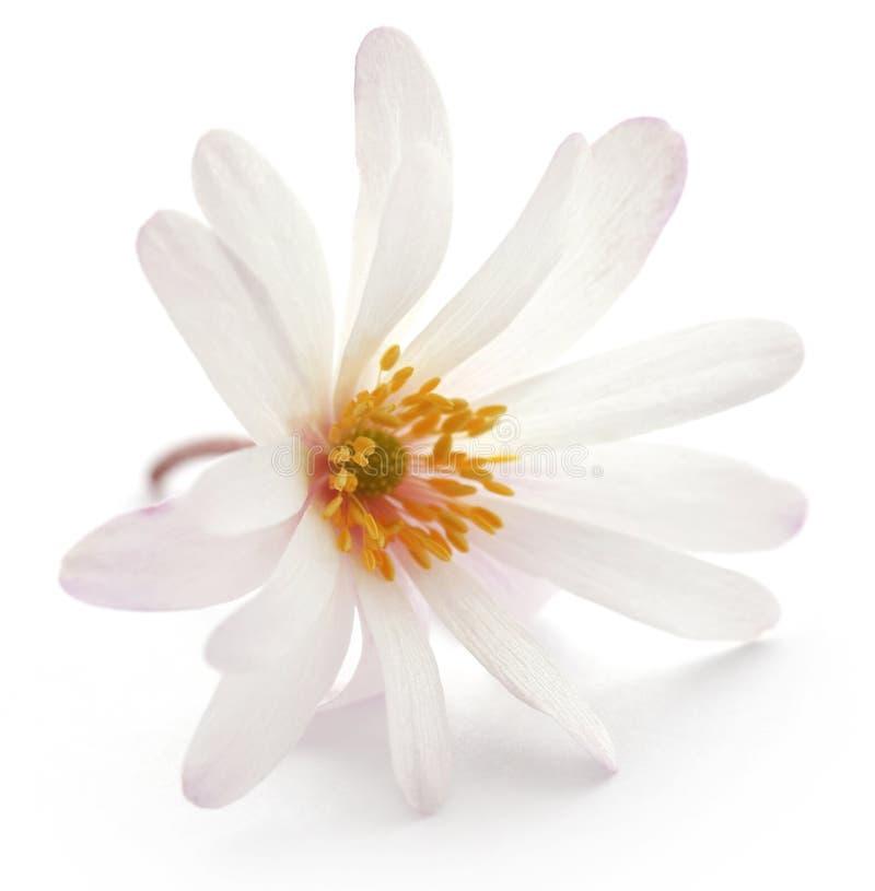 Tonalità bianca di Anemone Blanda o Windflowers greci fotografia stock libera da diritti