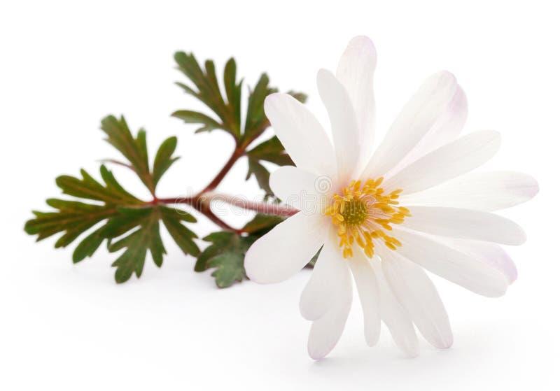 Tonalità bianca di Anemone Blanda o Windflowers greci immagini stock libere da diritti