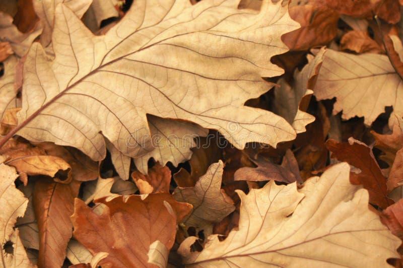 Tonalità dei fogli di autunno caduti marroni croccanti fotografia stock libera da diritti