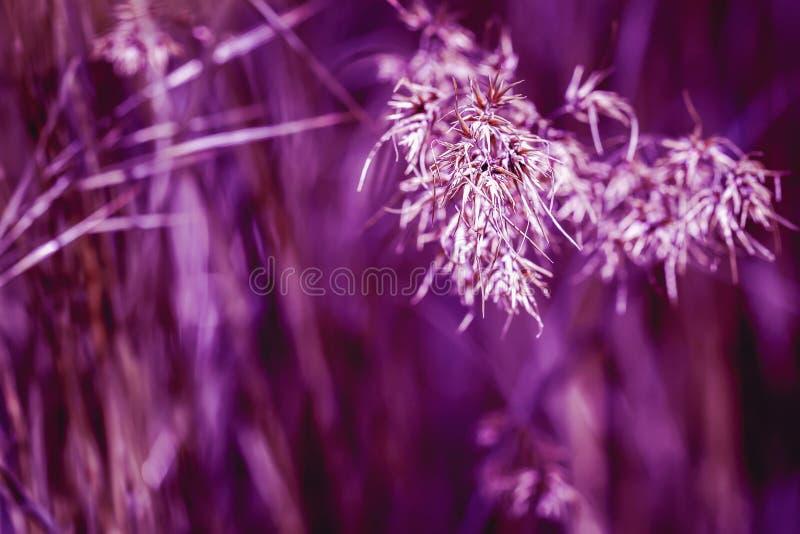 Tonat violett gå i ax i gräs, sommarmorgon Begrepp av friskhet och krimskrams, natur, evig vår som är miljö- arkivbilder
