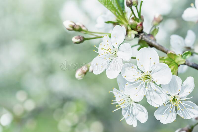 Tonaufnahme mit Kopierplatz Entzündung der Kirschblüten Vorlage für schöne Federlayouts stockbild
