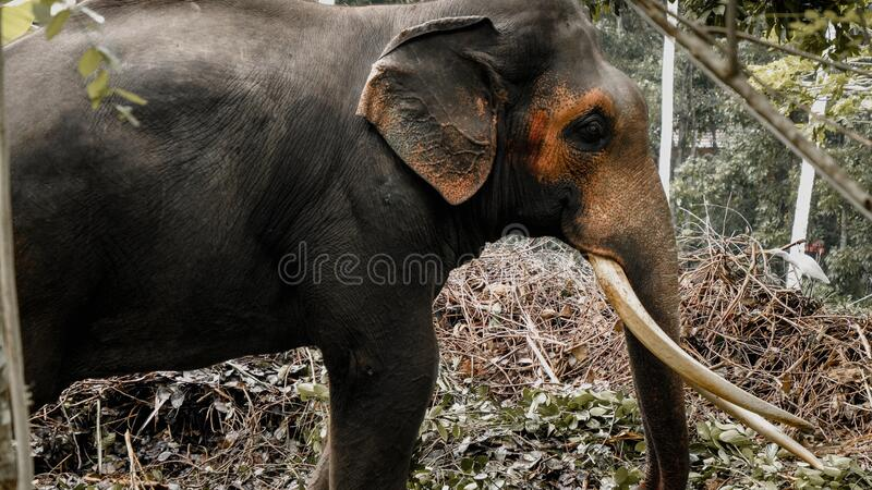 Toned image of adult asian elephant in wildlife at tropical jungle forest stock image