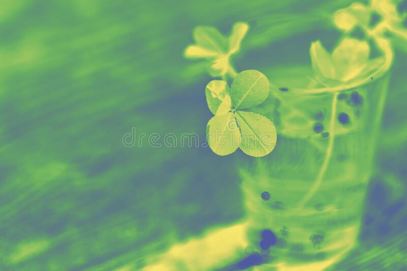 Toned photo of four leaf clover in green yellow tones.  Four-leaf clover glass with water  wooden background. Selective focus on the subject. Artistic noise stock image