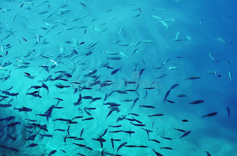 Toned picture of school of fish in the blue water of the ocean. Color of the year 2020. royalty free stock image