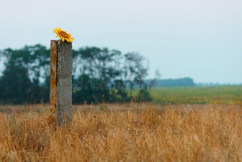 Toneel het plattelandslandschap van de de zomerzonsondergang met bloeiende zonnebloem stock afbeelding