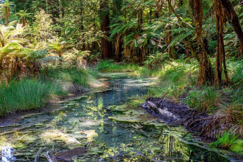 Toneel kleine kreek in Californische sequoia'sbos dichtbij Rotorua royalty-vrije stock foto's