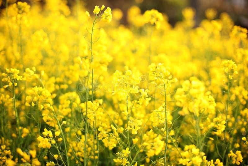Toneel landelijk landschap met geel verkrachting, raapzaad of canolagebied Raapzaadgebied, Bloeiende canolabloemen dicht omhoog V royalty-vrije stock afbeeldingen