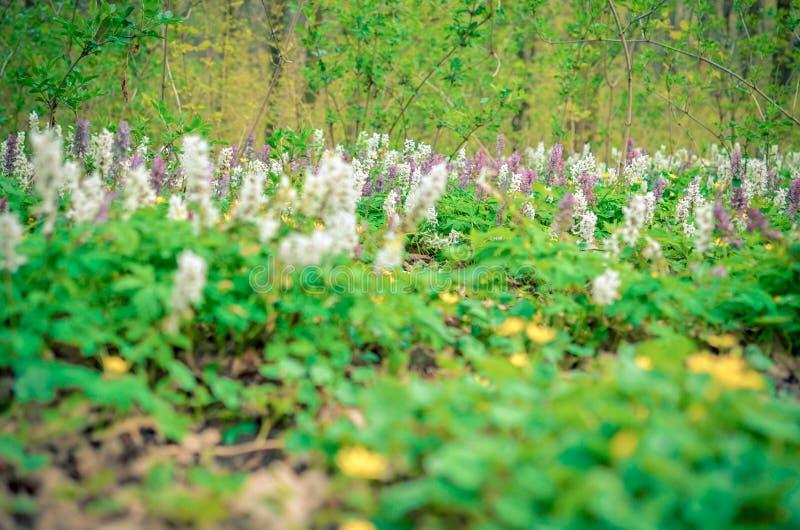 Toneel magische de lente bosachtergrond van violette en witte cava vroege de lente wilde bloemen van hollowrootcorydalis in bloei stock foto's
