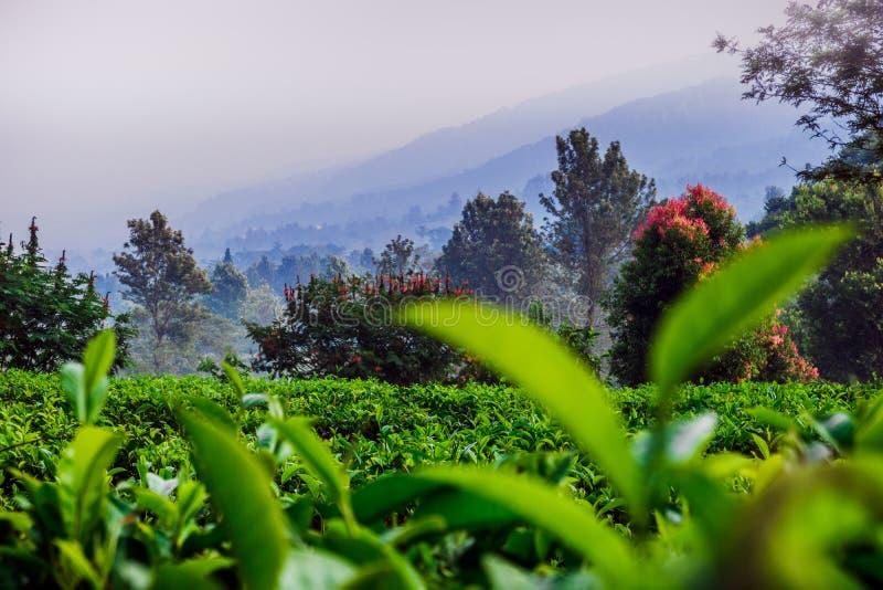 Toneelaard van theeaanplanting stock afbeeldingen