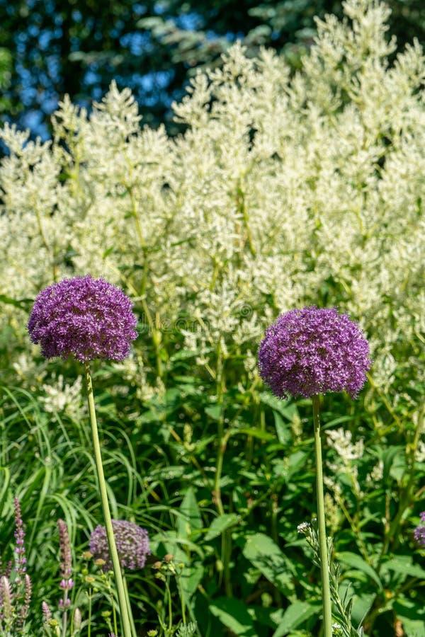 Toneelbloemballen van een reuze de uiinstallatie van Alliumgiganteum stock afbeelding