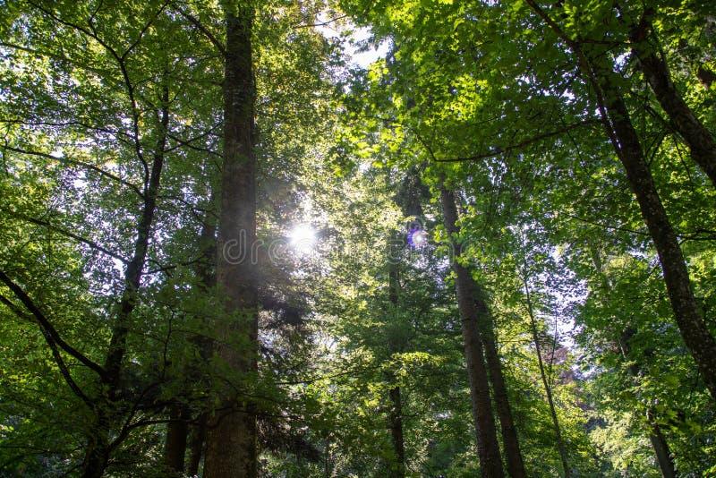 Toneelbos van verse groene die loofbomen door bladeren, met de zon worden ontworpen die zijn warme stralen gieten stock afbeelding