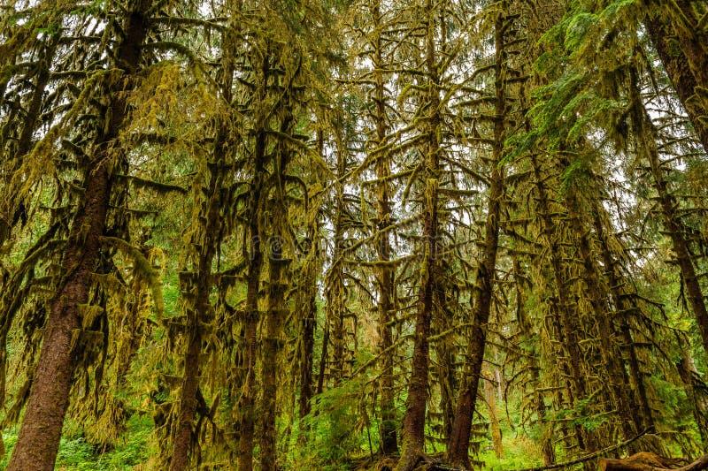 Toneelmening van bossen in Hoh Rain Forest stock foto