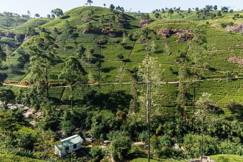 Toneelmening van het voortbouwen op heuvel met theeaanplantingen, Sri Lanka, nuwaraeliya stock afbeeldingen