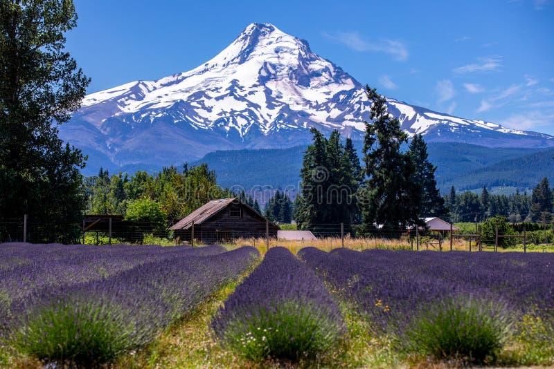 Toneelmening van MT-Kap met rijen van lavendel op een voorgrond royalty-vrije stock foto