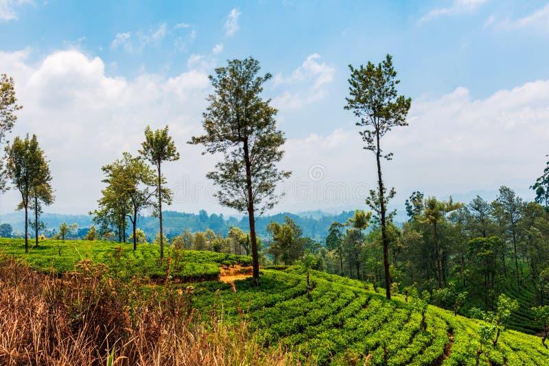 Toneeltheeaanplanting in Sri Lanka-hooglanden stock foto