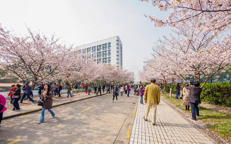 Tongji universitet Cherry Blossom Festival arkivbilder