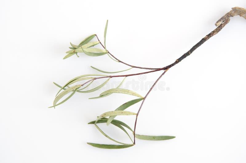 Tongkat阿里(Eurycoma longifolia起重器) 免版税库存图片