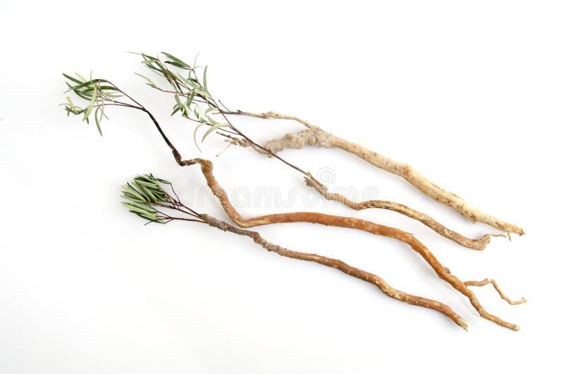 Tongkat Ali (den Eurycoma longifoliastålar) arkivbild