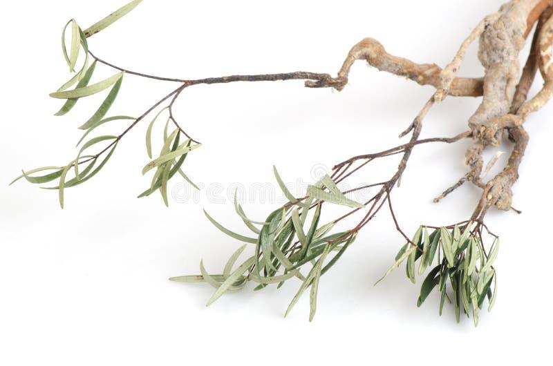 Tongkat Ali (jaque do longifolia de Eurycoma) fotografia de stock