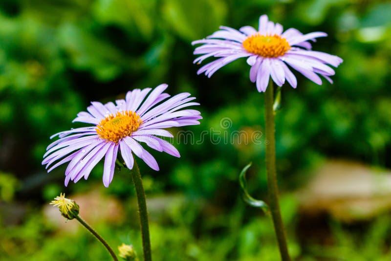 Tongolensis bleuâtre d'aster, Compositae de famille Deux fleurs pourpré photographie stock libre de droits