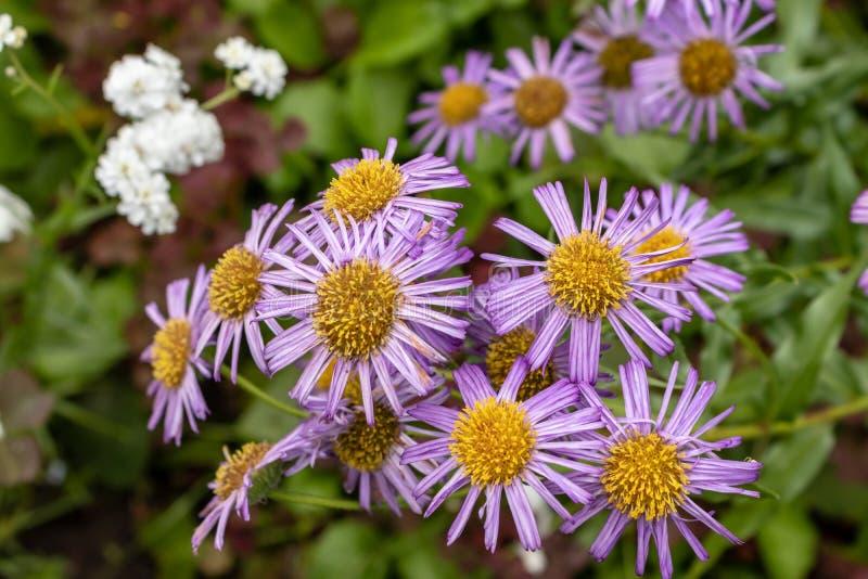Tongolensis bleu d'aster de fleur fleurs du jardin un beau jour d'été R?gion de Tula, Russie image stock