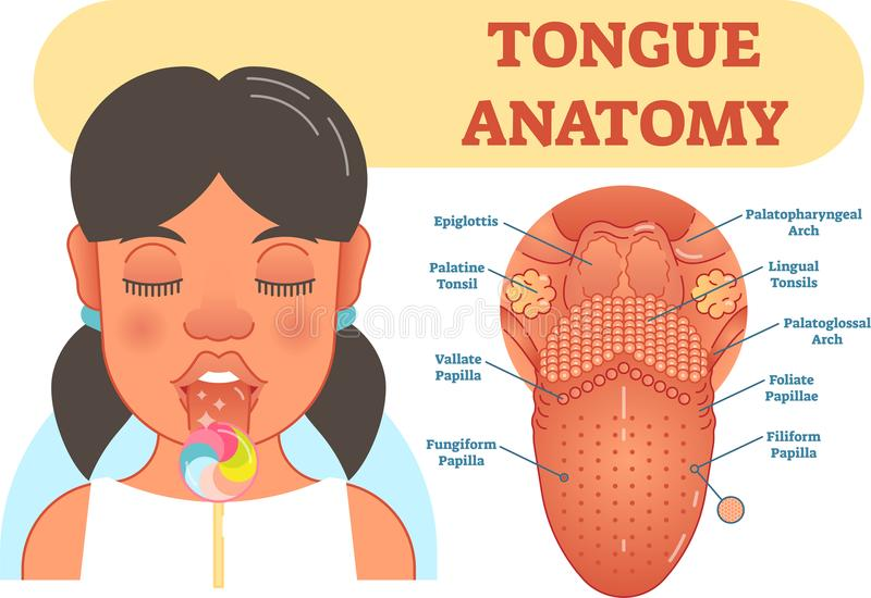 Tongue Anatomy Medical Vector Illustration Diagram. Stock Vector ...